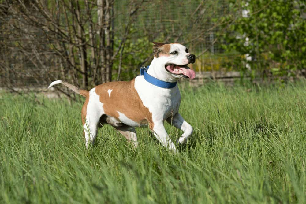 Top 6 American Pit Bull Terrier Training Tips for Pit Bull Lovers 1