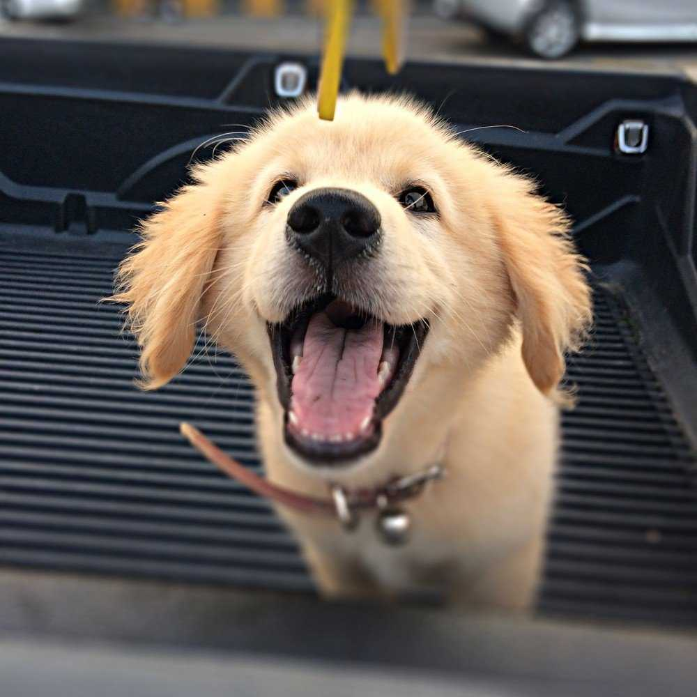 Golden Retriever Training Tips You Need to Know