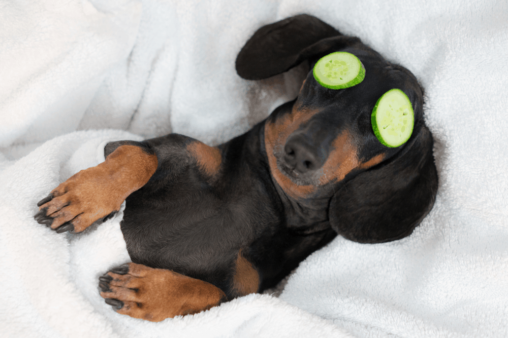 About the Dachshund -