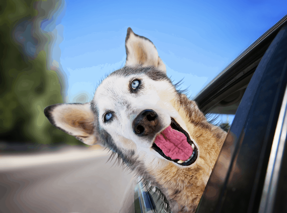 Why Choose a Husky For Your Pet? 1