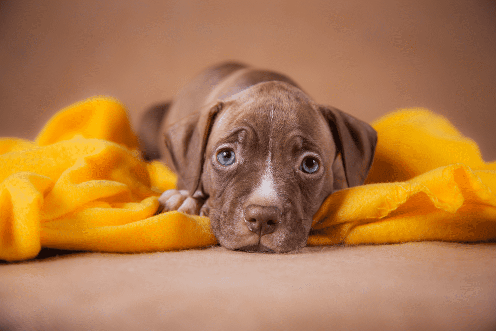Top 10 Reasons Why You Should Have A Pit Bull 18