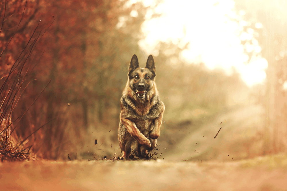 Are Better Protection Dogs Made by American German Shepherds? 3