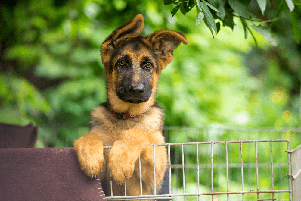 Are Better Protection Dogs Made by American German Shepherds? -