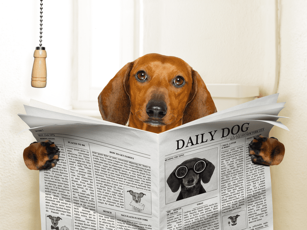 Did You Know Dachshund Puppy Training is as Simple as One, Two, Three? -