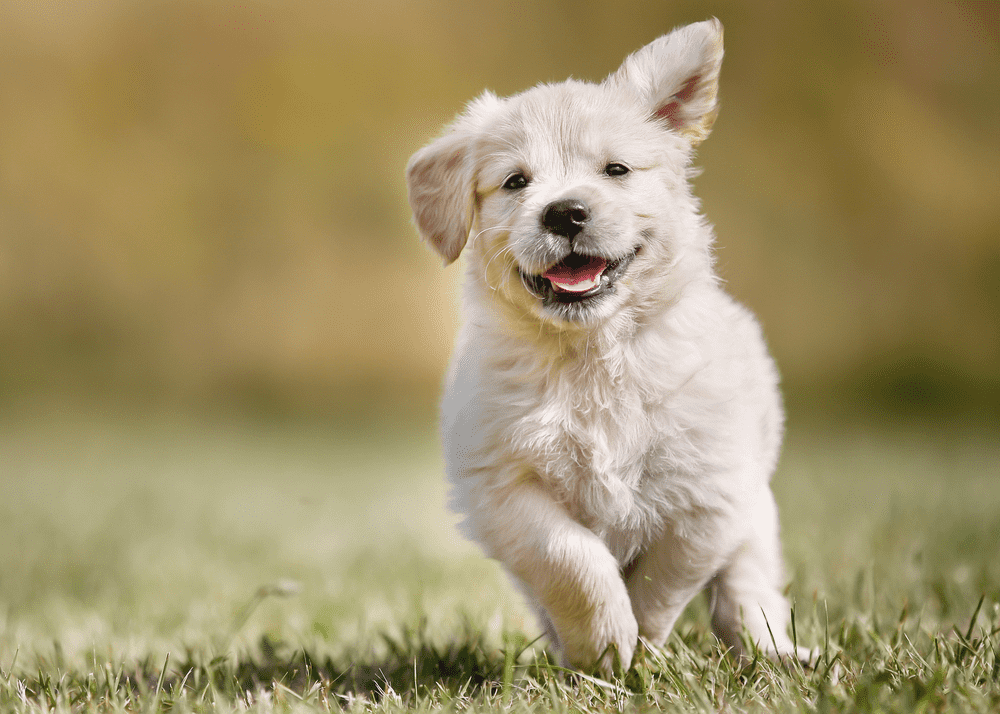 Golden Retriever Health - Top Health Issues To Be Conscious of 3