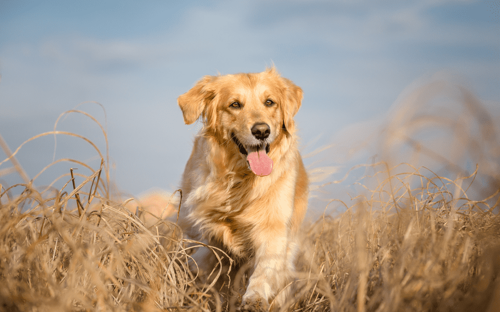 Golden Retriever Health - Top Health Issues To Be Conscious of 2