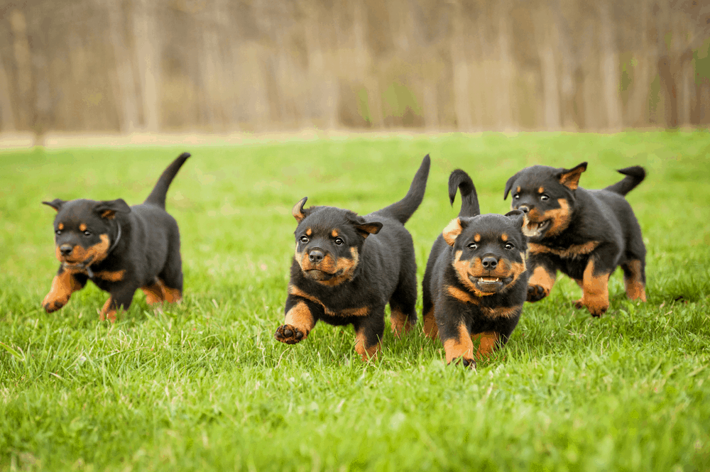 The Rottweiler Some Of The Oldest Working Dogs Of History
