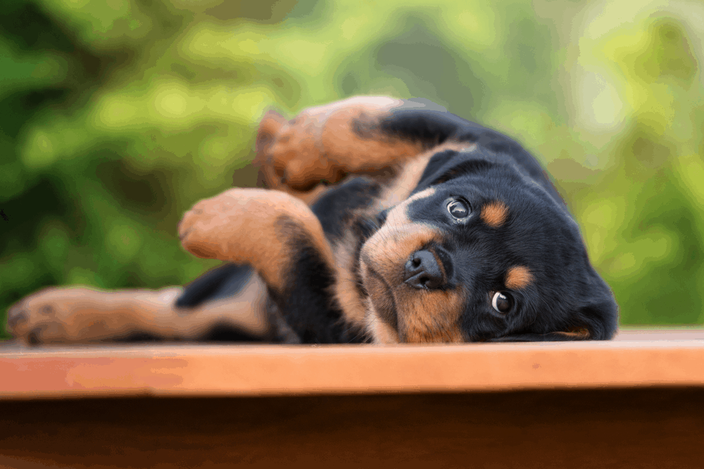 The Rottweiler - Some of the Oldest Working Dogs of History -