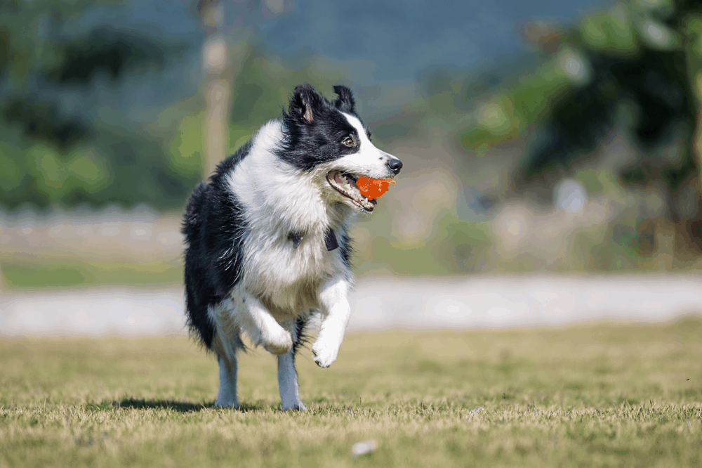 Make Your Border Collie Dogs Training Fun! 7