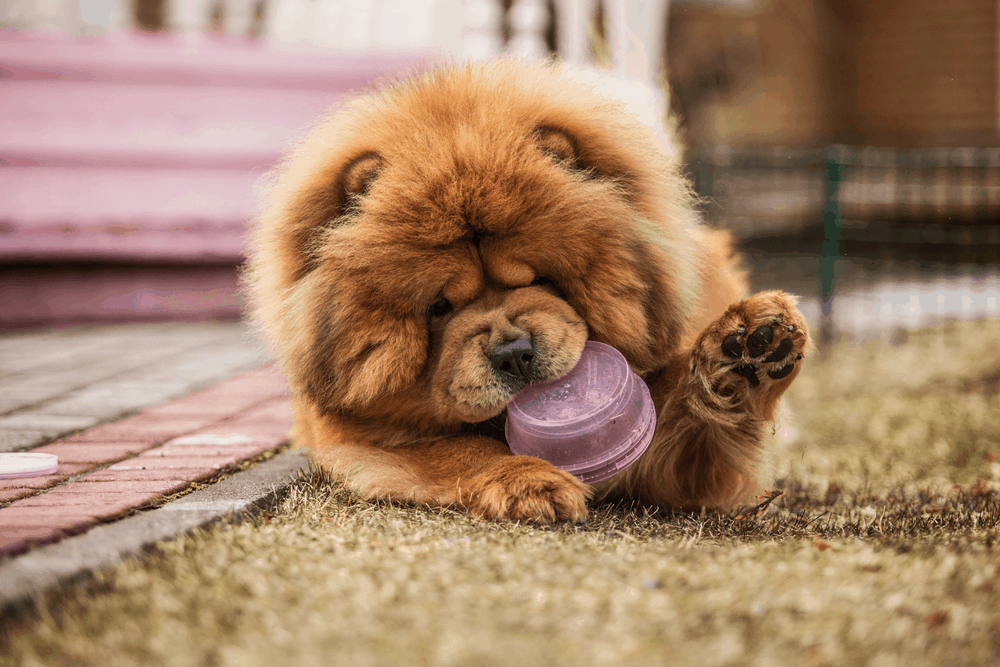 Where Can I Find a Chow Chow For Sale? 16