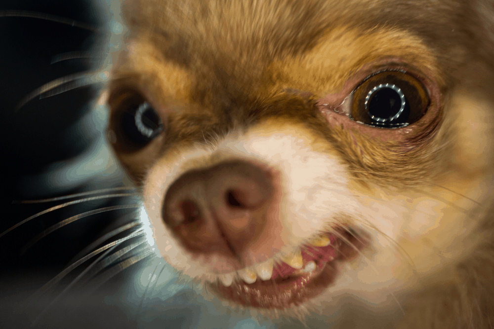 7 Tips You Must Know Before Training Your Chihuahua -