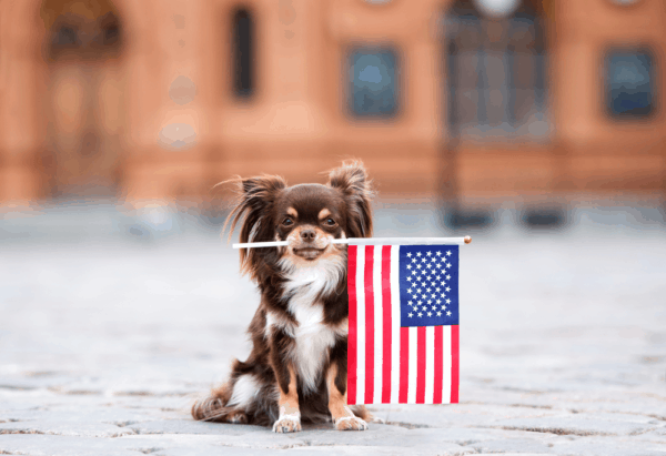 7 Tips You Must Know Before Training Your Chihuahua 2