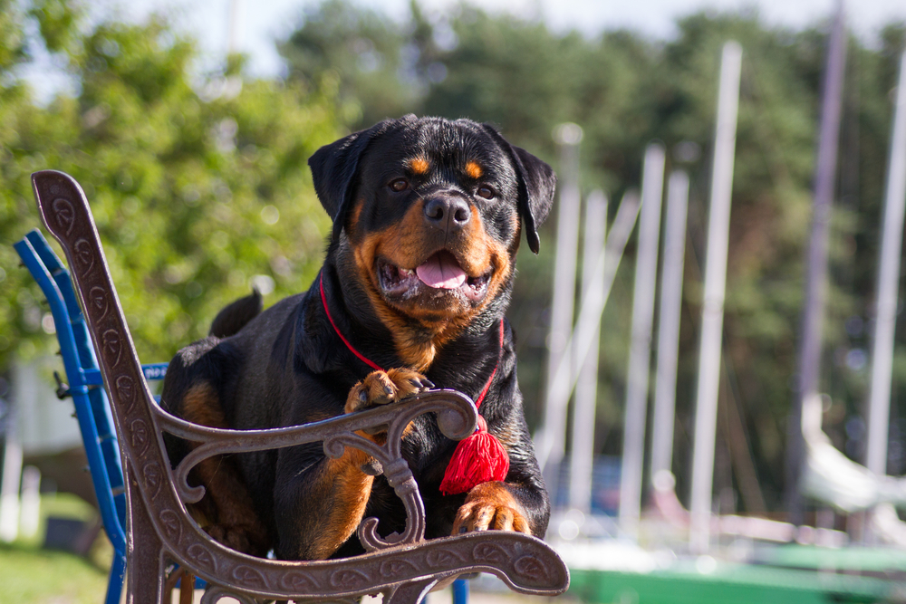 The Rottweiler - Facts From Fiction 26