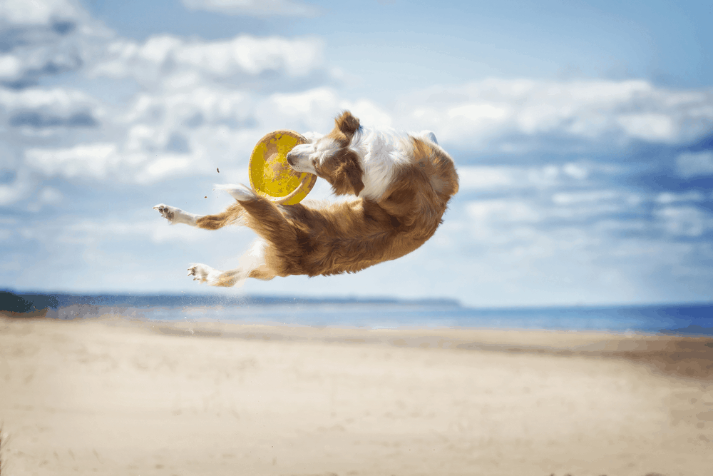 Tips to Stop Your Border Collie From Jumping 3