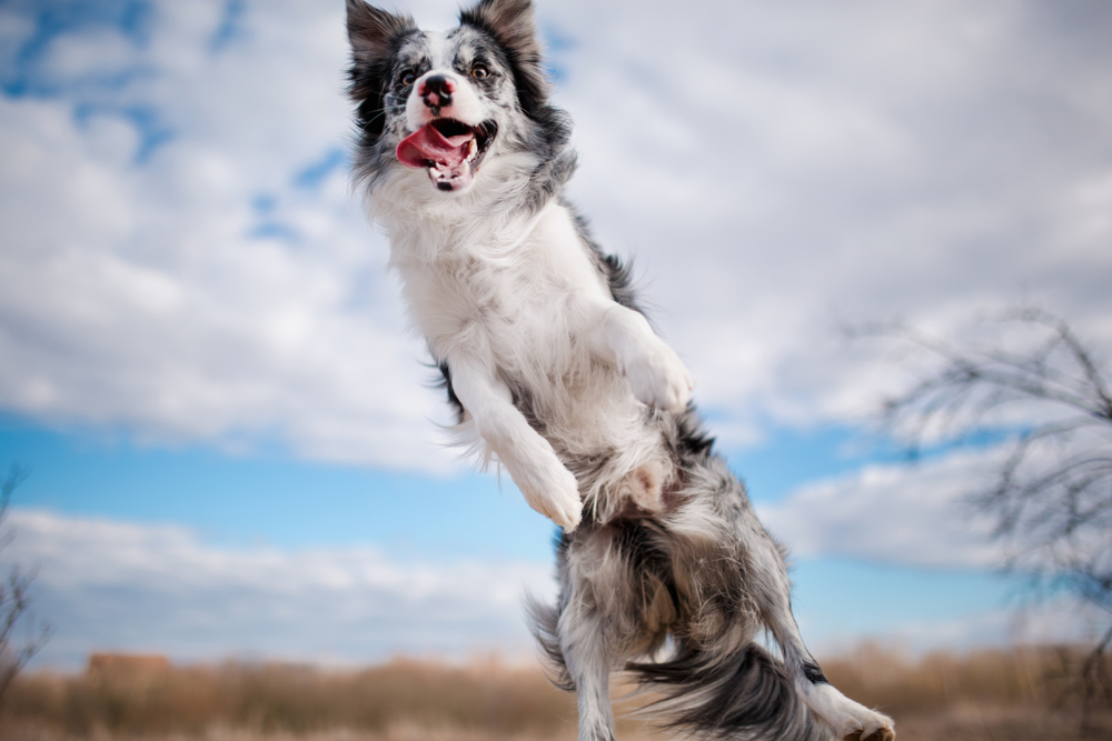 Tips to Stop Your Border Collie From Jumping -