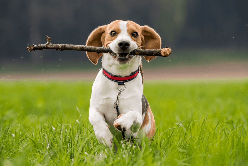 Beagle Training: How To Make A Good Dog Better 9