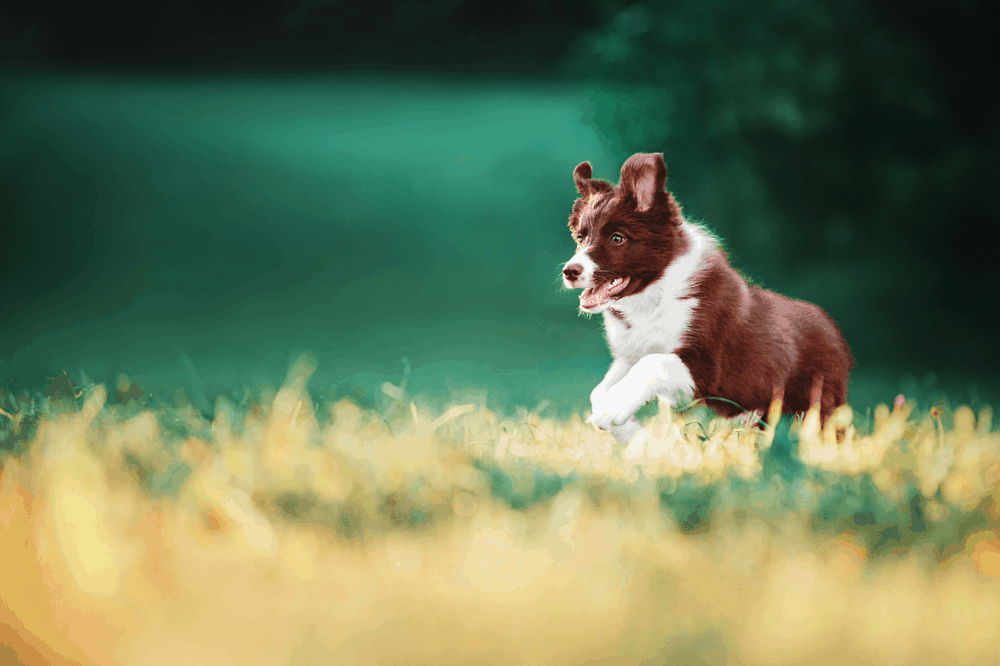 Border Collie Puppy Training - What Approach Should You Take? 2