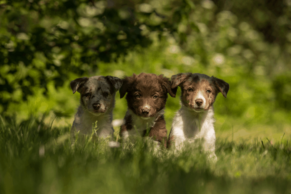 Border Collie Puppy Training - What Approach Should You Take? 3
