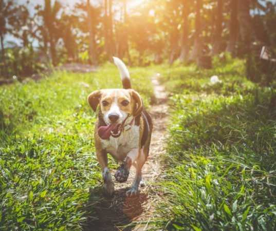 Beagle Puppy Training Tips You Need to Know 1