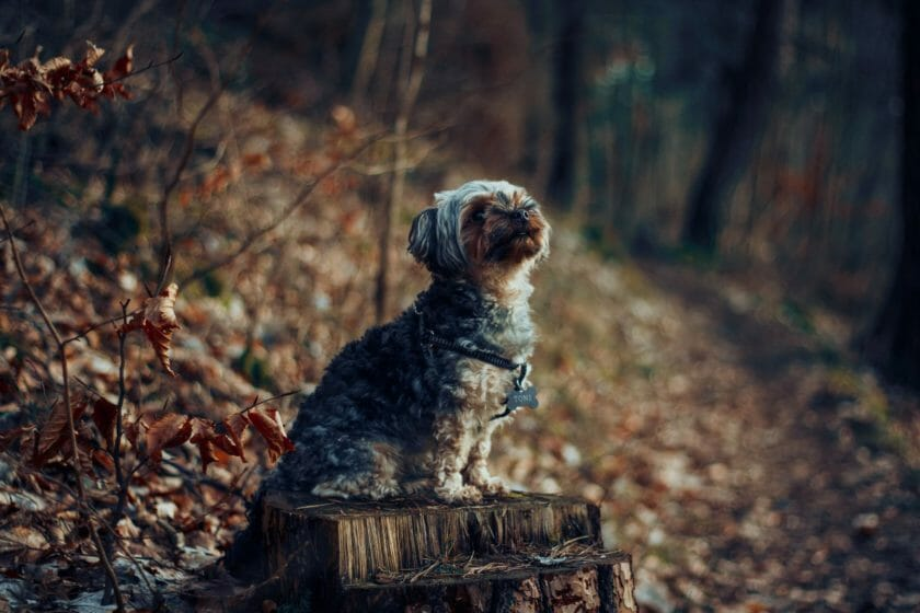 Simple Yorkshire Terriers Training Tips
